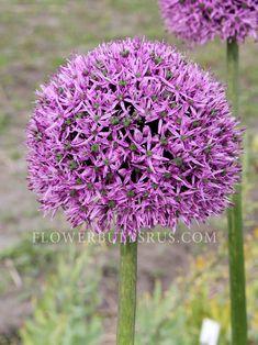 Allium Gladiator - Flower Bulbs R Us Bulb Flowers, Allium, Bulbs, Bloom, Purple, Spring, Plants, Lightbulbs, Bulb