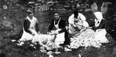 Old photograph of crofters removing the fleece from sheep on the Outer Hebrides of Scotland