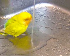 Yellow Rosy-Faced Lovebird Chirps Happily While Taking a Bath in the Kitchen Sink