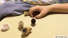 Making a hand-house for tiny chicks