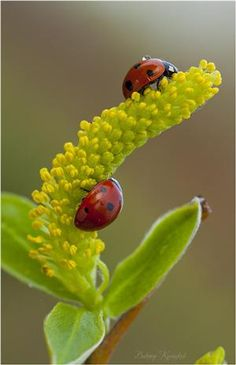 ladybugs on yellow flower