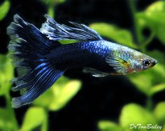 A gorgeous Dark Blue Mature Male Fancy Guppy. To see more ... click on http://www.AquariumFish.net/catalog_pages/livebearer_guppies/guppies_table.htm#3581