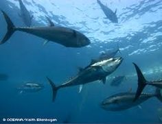 Image result for tuna and sharks