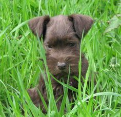 be this  rare chocolate schnauzer is more behaved than my dumb Bently