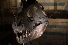 T-Rex Skull - Natural History Museum Natural History Museum Dinosaurs, Natural History Museum London, Dinosaur Bones, T Rex, Lion Sculpture, Skull, Skulls