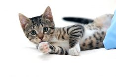 Why not check out our fifth pet user-guide. This time we are looking at owning your pet first cat. Fun Facts About Cats, Cat Facts, Kitten Love, Cat Love, Cute Kittens, Cats And Kittens, Savannah Kitten, Why Do Cats Purr, Love Your Pet