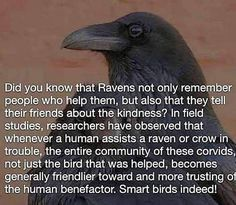 Tracy's Haven The Effective Pictures We Offer You About wild animals bear A quality picture can tell Raven Facts, Crow Facts, The Crow, Animals And Pets, Funny Animals, Cute Animals, Funny Dogs, Funny Memes, Beautiful Birds