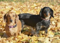 AVAILABLE - Hi. I'm Zoe and I want to introduce you to my friend, Penny. We are looking forward to meeting you and finding a new home together. We ended up with the good folks at Canadian Dachshund Rescue (Ontario) because our family could no longer look after us. We were sad to leave but we are enjoying our foster home. Foster mom sometimes calls me ZoZo and calls Penny PenPen.