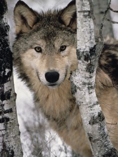 ☀Gray Wolf, Canis Lupus, Staring from Behind the Trees, North America  by Joe McDonald