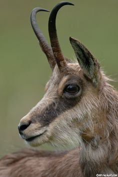 chamois, animals to see in France ~ETS #hornybeasts