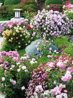 Colorful Rose Garden in Full Bloom