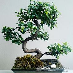1000 images about bonsai on pinterest chinese elm for Holly tree bonsai