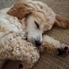 Sleeping sweet baby Standard Poodle Puppy