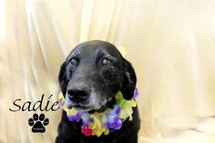 Sadie (Diabetic) - Labrador Retriever mix - 8 yrs old - Project Hope Animal Rescue - Coldwater, MI. - https://www.facebook.com/pages/Project-Hope-Animal-Rescue/217437608296575?sk=timeline - http://www.adoptapet.com/pet/8949507-coldwater-michigan-labrador-retriever-mix - https://www.petfinder.com/petdetail/24557818/