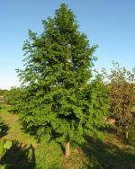 Conifers   Katsura Gardens  3 - Lower 40