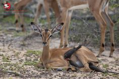Red-billed Oxpecker family foraging on a baby Impala, Red Bill, 23 November, Kruger National Park, Impala, Kangaroo, Safari, Africa, Baby, Animals