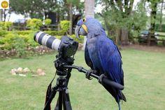 https://www.facebook.com/WonderBirdSpecies/ Hyacinth macaw (Anodorhynchus hyacinthinus); South America; IUCN Red List of Threatened Species 3.1 : Vulnerable (VU)(Loài sắp nguy cấp)    Vẹt Macaw (đuôi dài) lam; Nam Mỹ; HỌ VẸT-PSITTACIDAE (True parrots).