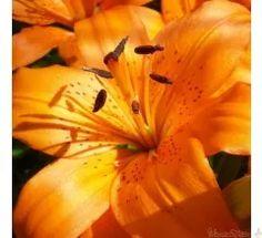 Orange lilies - SO stunning!