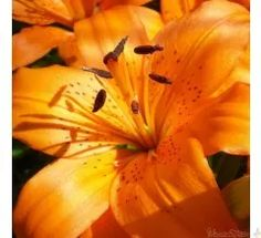 Orange lilies - SO stunning!