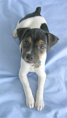 brazilian terrier puppy - Google Search