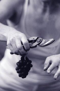 E' tempo di vendemmia: il #Molise profuma di #Tintilia. E per gli amanti del vino noi consigliamo un simbolo del Molise: una bottiglia di Tintilia, prodotto autoctono per eccellenza e fiore all'occhiello della terra molisana.