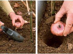 Plantez les glaïeuls :