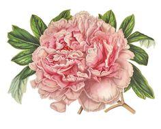 Pink Peony Flowers / Vintage French Botanical Print // Digital Download // Printable Art Work // Decoupage