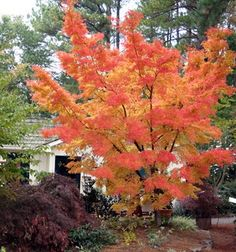 Coral Bark Japanese Maple Tree | The Planting Tree