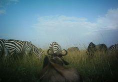 wildebeest & Zebra co-habit peacefully together