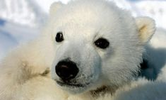Today is national polar bear day! Because of ongoing and potential loss of their sea-ice habitat resulting from climate change, polar bears were listed as a threatened species in the U.S., across their range, under the Endangered Species Act in May 2008.