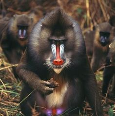 How many mandrills are left in the wild?