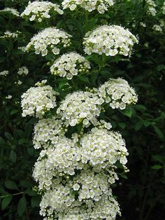 Bridalwreath Spirea (Spiraea vanhouteii)/ This is beautiful after spring rain, they bloom all over and it is beautiful white.