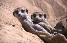 Meerkat family, Kalahari Desert, South Africa | by PaulBrehem