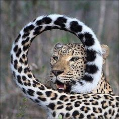 "beautiful-wildlife:""A Leopards Tail by © jonpwightman"" Cool Cats, Big Cats, Crazy Cats, Cats And Kittens, Siamese Cats, Nature Animals, Animals And Pets, Funny Animals, Cute Animals"
