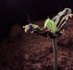 Del #Cacao se extrae el #Chocolate; aquí la pequeña #Planta del #Arbusto del #TheobromaDeCacao al germinar su #Semilla; originaria de #Venezuela #SurAmérica; #Theobroma en #Griego significa #AlimentoDeLosDioses es el nombre #Científico del #Cacaotero de la familia #Malvaceae; con #Hojas perenne; clase #Magnoliopsida ||| La #Foto fue encontrada en #Twitter