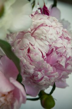 PEONY'S PERFECT TO CLIP AND STICK IN A VASE AND THEY SMELL SO GOOD TOO