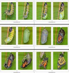 Pics of caterpillar transformation. Preschool Learning Activities, Preschool Curriculum, Preschool Science, Science For Kids, Preschool Activities, Kindergarten, Stem Science, Science Nature, Butterfly Crafts