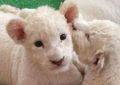 Is it their huge eyes that probably hold the secrets of the universe? | The Cutest White Lioness Cub In The World... Times Seven