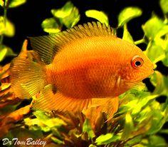 Golden Severum Cichlid, Featured item. #golden #severum #cichlid #fish #petfish #aquarium #aquariums #freshwater #freshwaterfish #featureditem