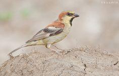 Plain Backed Sparrow - Thailand