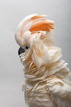ⓕurry & ⓕeathery ⓕriends - photos of birds, pets & wild animals - salmon-crested cockatoo Pretty Birds, Beautiful Birds, Animals Beautiful, Exotic Birds, Colorful Birds, Animals And Pets, Cute Animals, Crazy Animals, Cockatoo