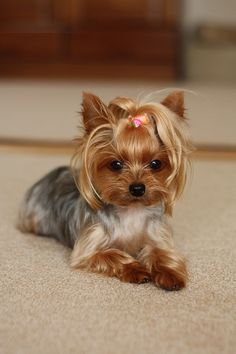 Yorkshire terrier–I want my sassy to look like this! ADG Yorkshire Terrier – Ich möchte, dass mein Frecher so aussieht! Chien Yorkshire Terrier, Yorkshire Terrier Haircut, Yorkshire Puppies, Yorkies, Yorkie Cuts, Yorkie Hairstyles, Baby Animals, Cute Animals, Pet Dogs