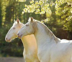Such Unique white horses in the soft setting sun.