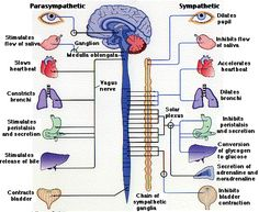 Are you using your vagus nerve? Check out 8 amazing benefits of turning on your vagus nerve by slow-deep breathing! Peripheral Nervous System, Vagus Nerve, Vagus Siniri, Nursing Notes, Central Nervous System, Anatomy And Physiology, Brain Anatomy, Pelvis Anatomy, Heart Anatomy
