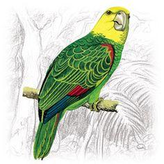 Papagaio-Campeiro (Amazona ochrocephala)