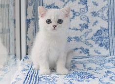 котенок серебристой шиншиллы