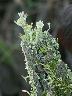 Reaching lichen