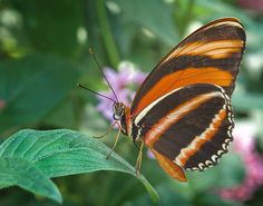 Orange Tiger Tropical Butterfly