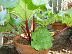 rhubarb in container