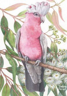Pink Galah on White Gumblossoms by Debra Meier Art - Melanie Faulkner Galah Cockatoo, Pink Cockatoo, Bird Drawings, Animal Drawings, Australia Animals, Australian Birds, My Art Studio, Watercolor Bird, Bird Prints